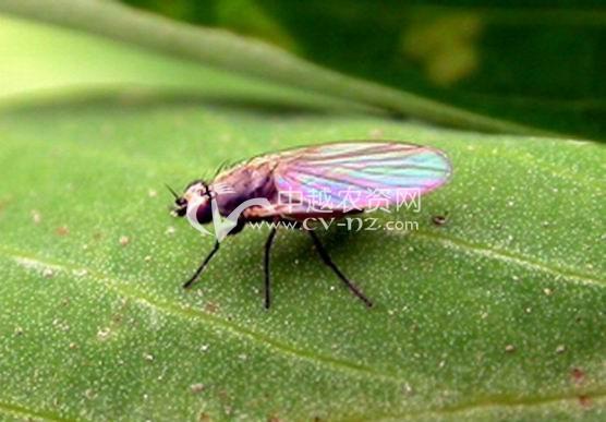 豌豆彩潜蝇