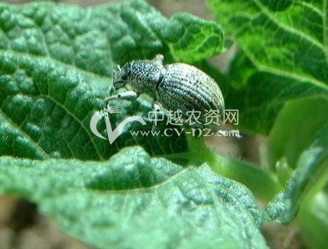 蒙古灰象甲