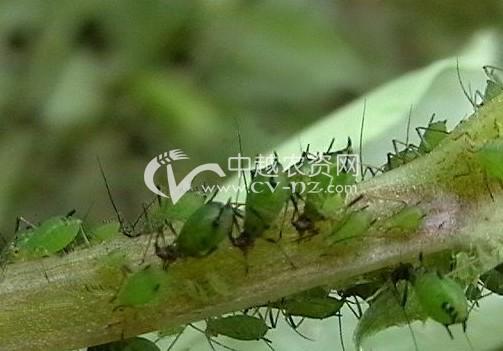 豌豆修尾蚜