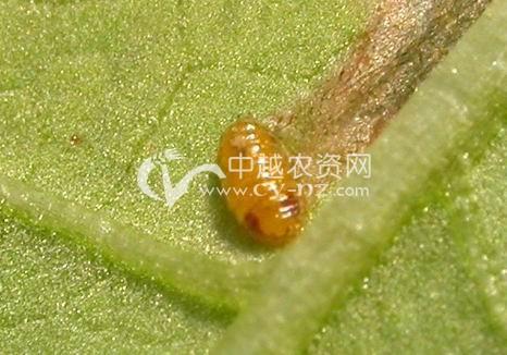 番茄斑潜蝇