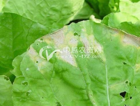 大白菜霜霉病