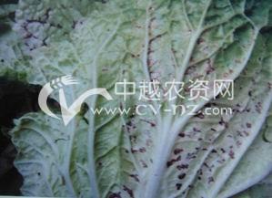 白菜病毒病