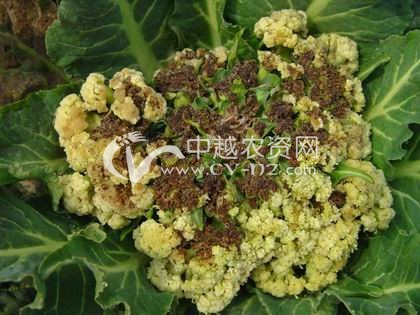 花椰菜软腐病