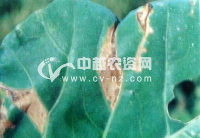青花菜细菌性黑斑病