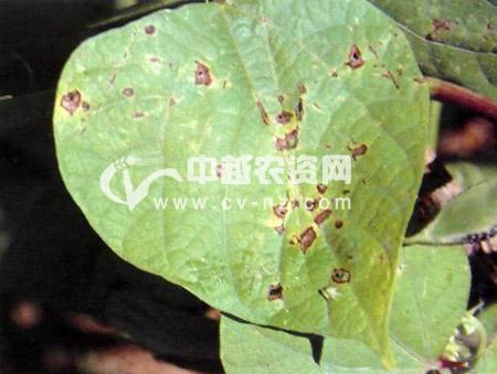扁豆褐斑病