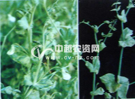 豌豆花叶病和黄顶病