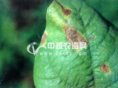 菜豆黑斑病