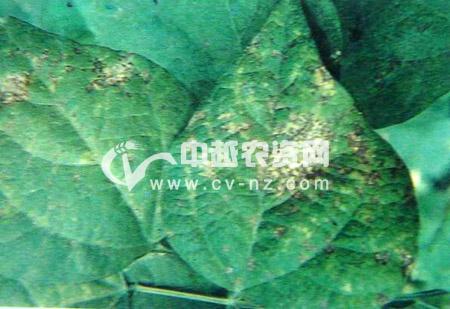菜豆角斑病