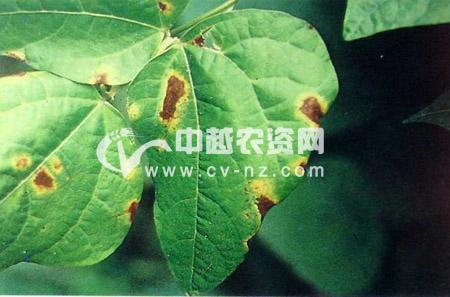 菜豆细菌性疫病