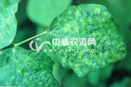 菜豆花叶病