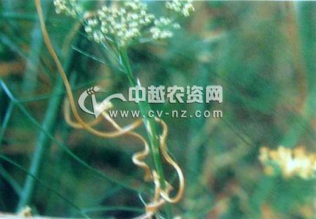 菟丝子为害茴香