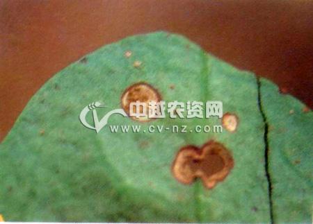 落葵圆斑病