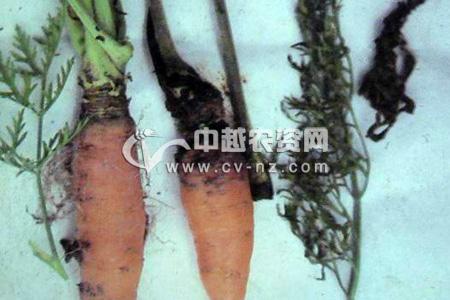 胡萝卜细菌性软腐病