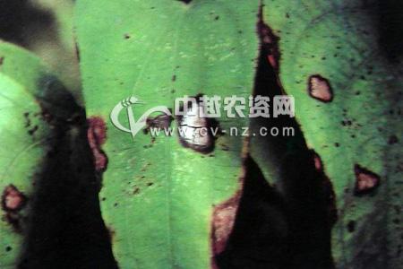 山药(大薯)褐斑病
