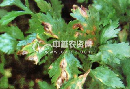 芹菜叶斑病