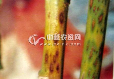 芦笋炭疽病