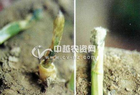 芦笋茎腐病
