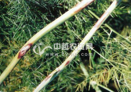 芦笋紫斑病