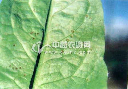 莴苣、莴笋锈病