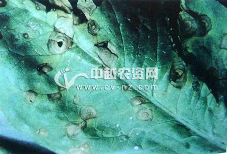 莴笋种株叶片轮斑病