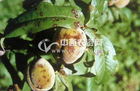桃树褐斑穿孔病
