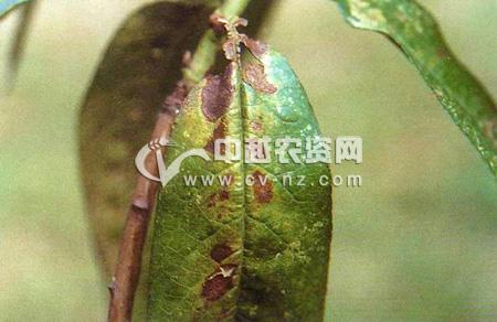 桃树霉斑穿孔病