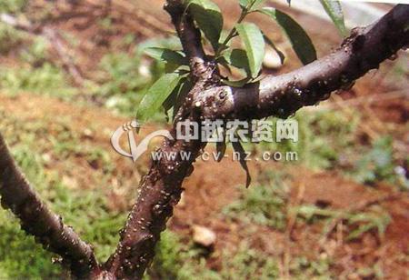 桃树侵染性流胶病