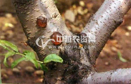 桃树非侵染性流胶病