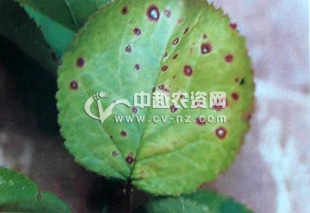 梅假尾孢褐斑穿孔病