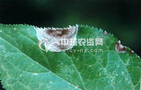 梅树炭疽病