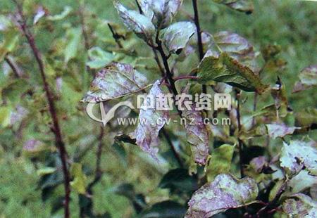梅树缩叶病