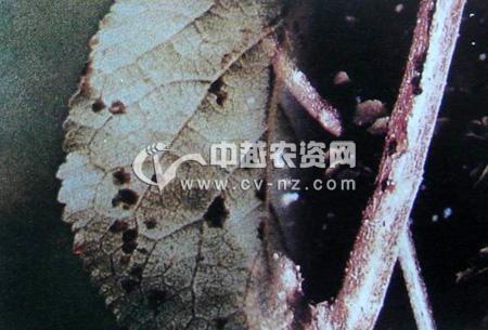 梅树溃疡病