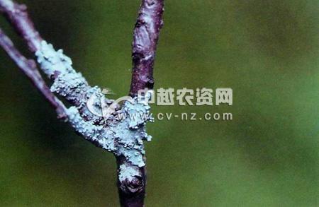 地衣为害梅树