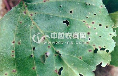 杏树细菌性穿孔病