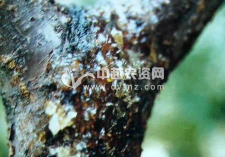 杏树流胶病