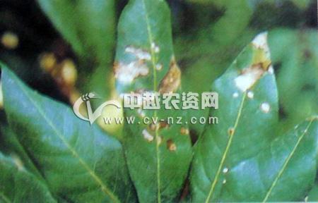 龙眼壳二孢叶斑病