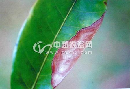 龙眼盘二孢叶斑病
