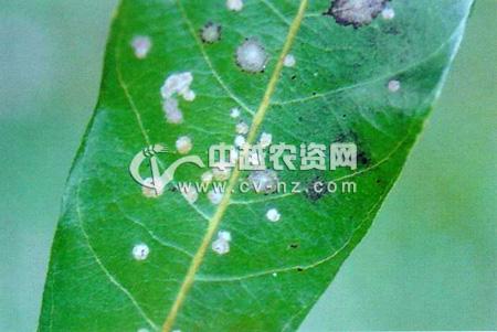 龙眼藻斑病