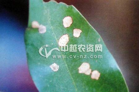 荔枝斑点病
