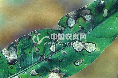 芒果拟盘多毛孢叶枯病