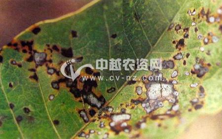 芒果棒孢叶斑病