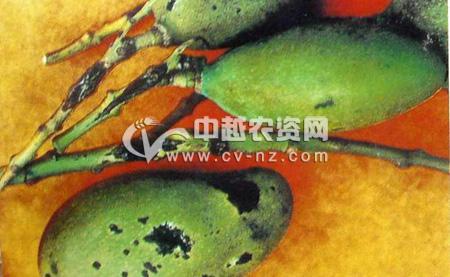 芒果细菌性角斑病