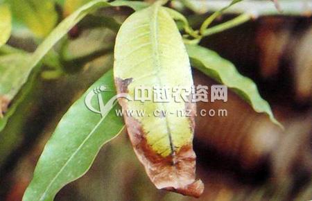 芒果生理性叶缘焦枯