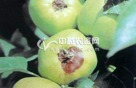 苹果干眼烂果病