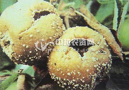 苹果褐腐病