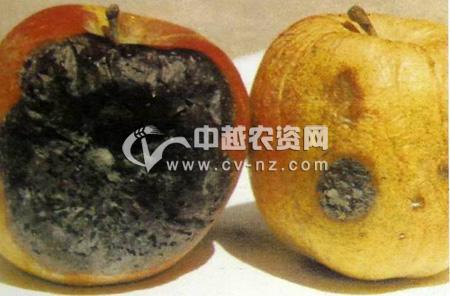 苹果黑腐病