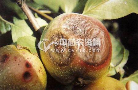苹果炭疽病