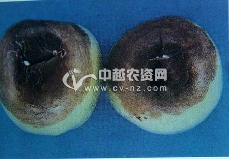 苹果疫腐病