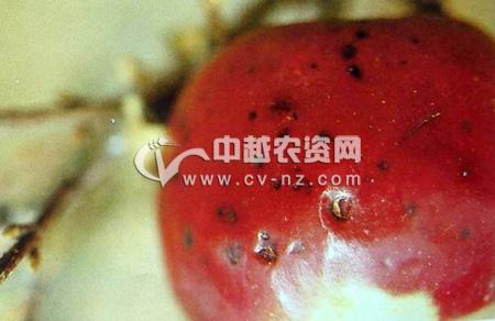 苹果黑点病
