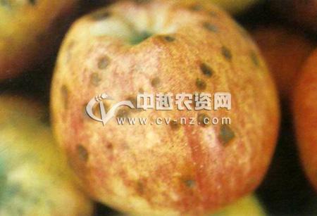 苹果苦痘病